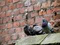 kosciuszko-holubi