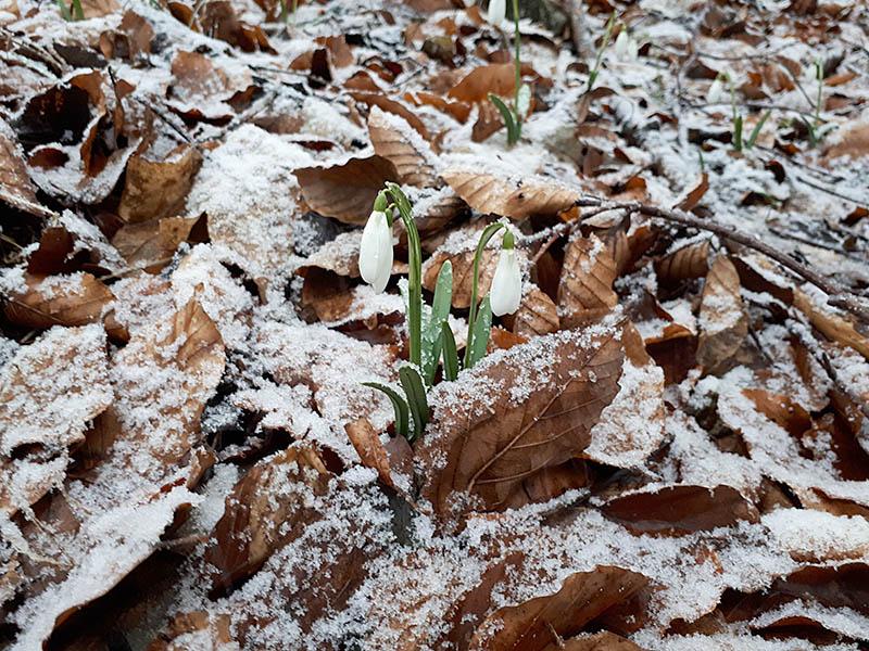 Sněženky v lese na Čiernachove.